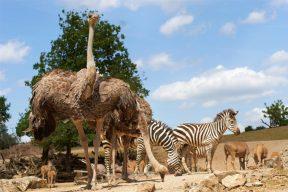 Steppe Strauss und Zebra (Large)